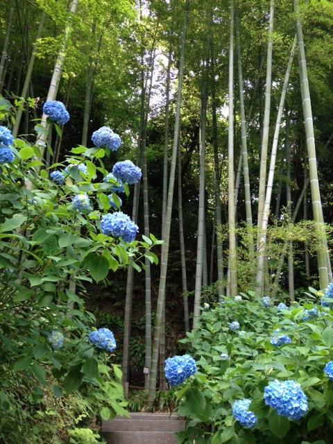 明月院の竹林とあじさい
