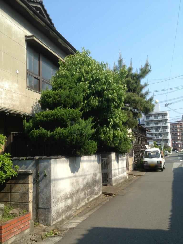 福岡 松の剪定