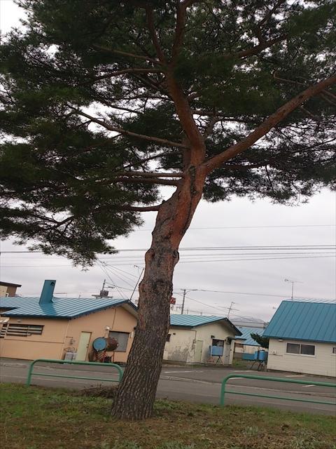 松の木_R