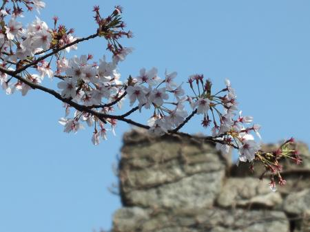 城壁と桜と