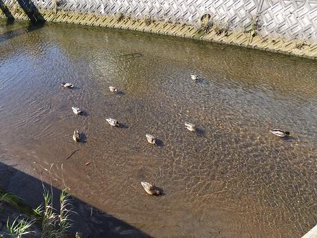 2蘭北橋の鴨