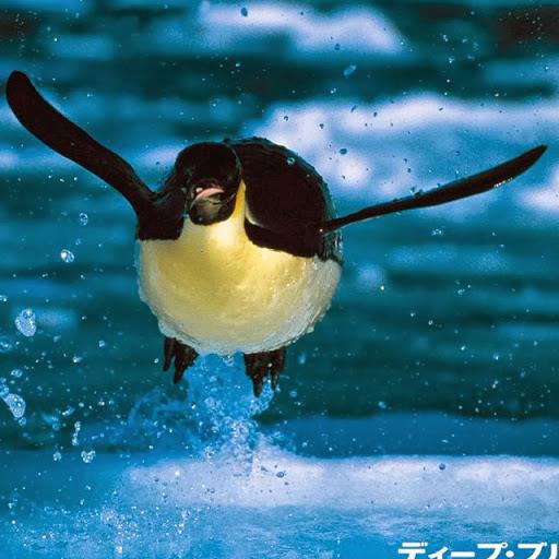 photoCAA6P4W7飛行ペンギン