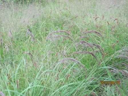 グリーンフォマットのカモジグサ