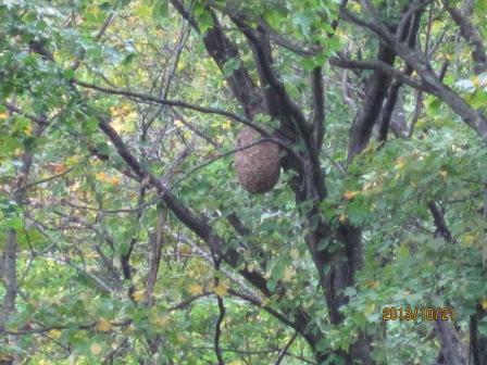 H25 10 21 称名滝遊歩道のスズメバチの巣(拡大) (2)