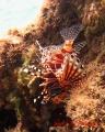 キリンミノ(幼魚) 20131020 1
