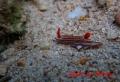 クチナシイロウミウシ 20131029 1