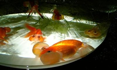 金魚 2013