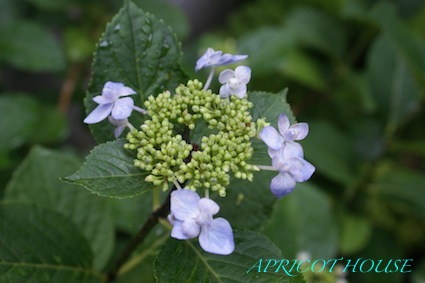 13-5-21紫陽花