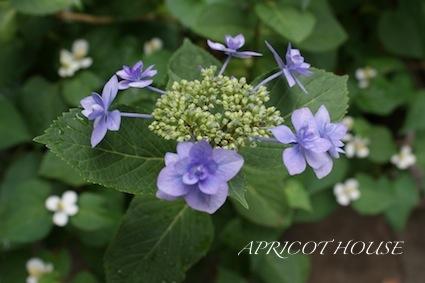 130603紫陽花
