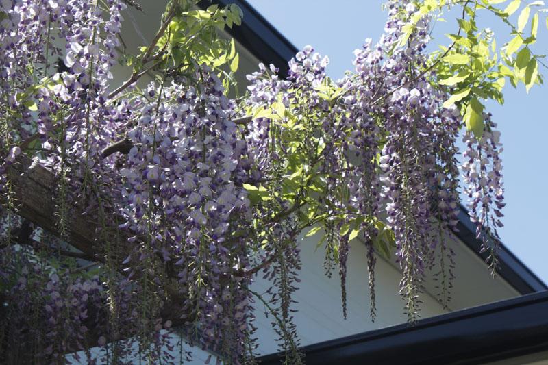 1418_藤の花