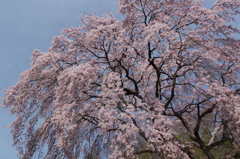 枝垂桜 130409a