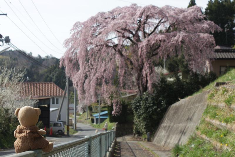 枝垂桜 130409b