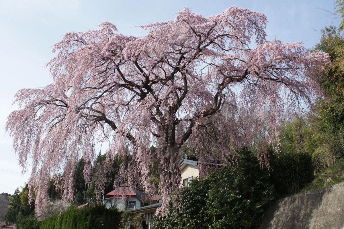 枝垂桜 130409c