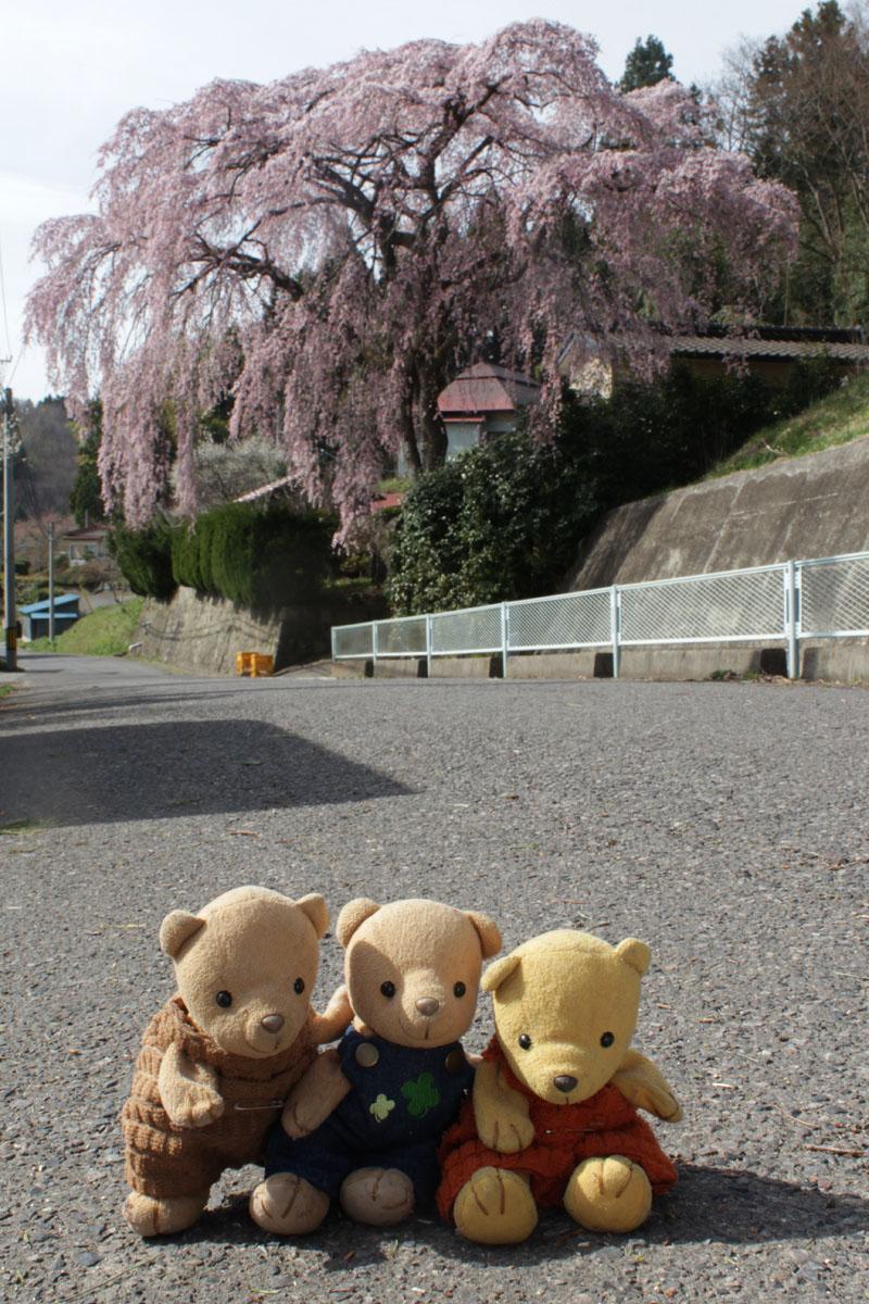 枝垂桜 130409d