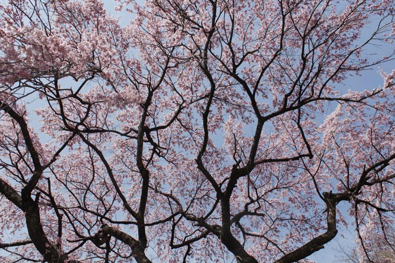 枝垂桜 130409e