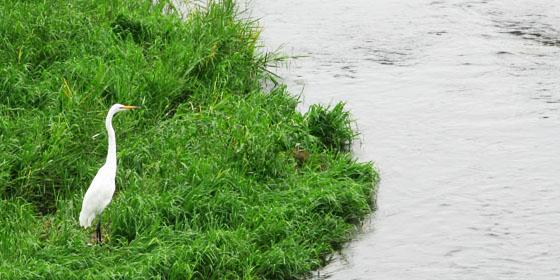 鴨の川原で獲物を待つサギ
