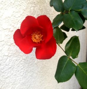 201305 薔薇