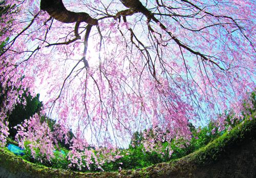 桜2013-007