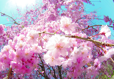 桜2011-007
