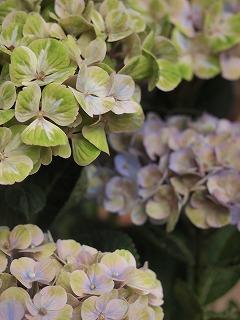 紫陽花を眺める