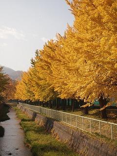 西高の銀杏並木