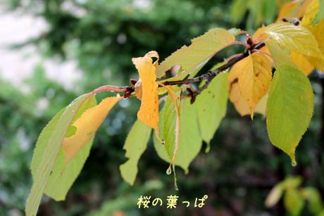 お庭の桜・・・黄