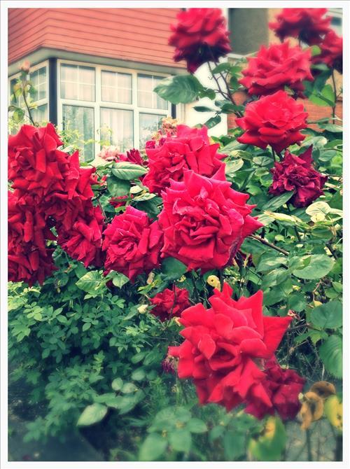 RosestImage1.jpg