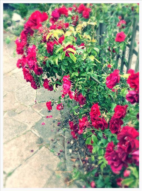 RosestImage2.jpg