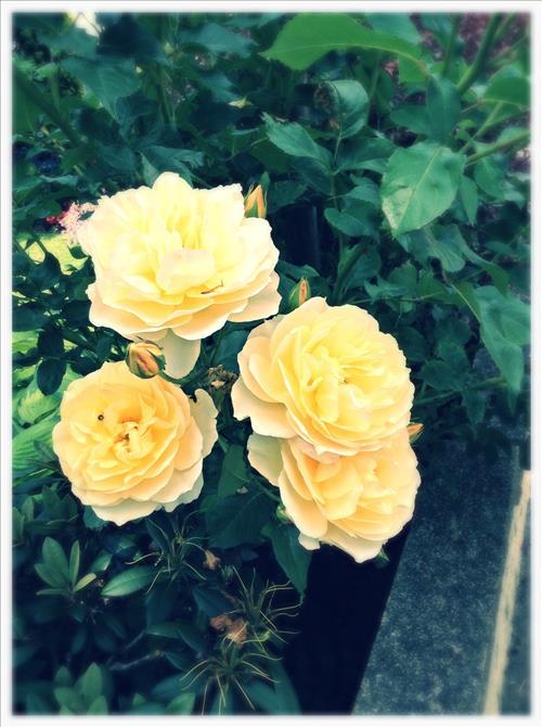 RosestImage4.jpg