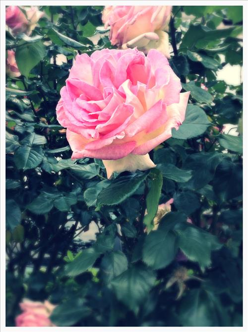 RosestImage6.jpg
