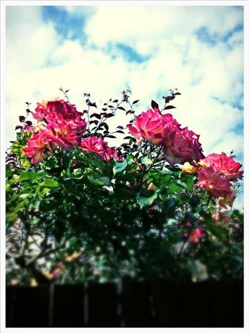 RosestImage7.jpg