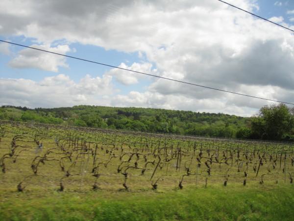 芽吹いたばかりの葡萄畑