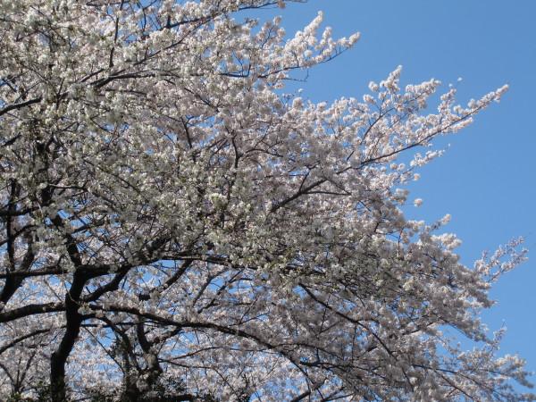 青空に映える満開の桜