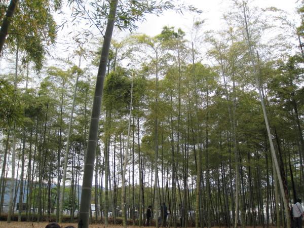 あたり一面竹林1