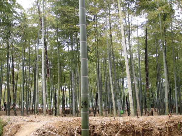 あたり一面竹林2