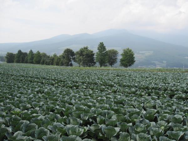信州のキャベツ畑