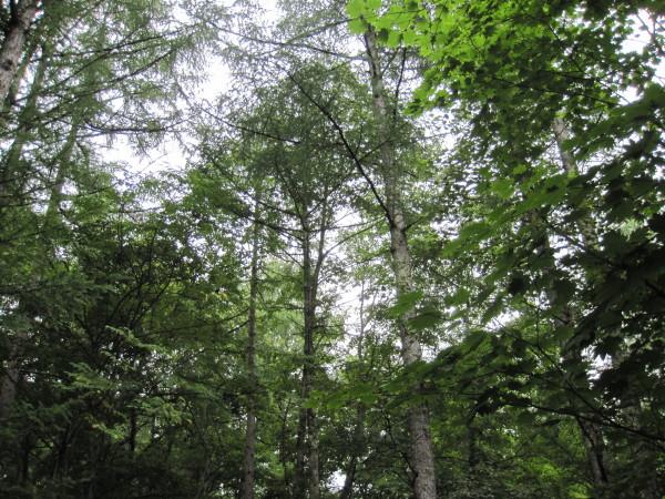 落葉松の木漏れ日