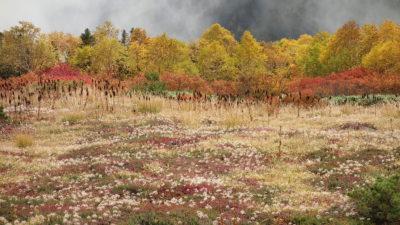 チングルマの群生と紅葉