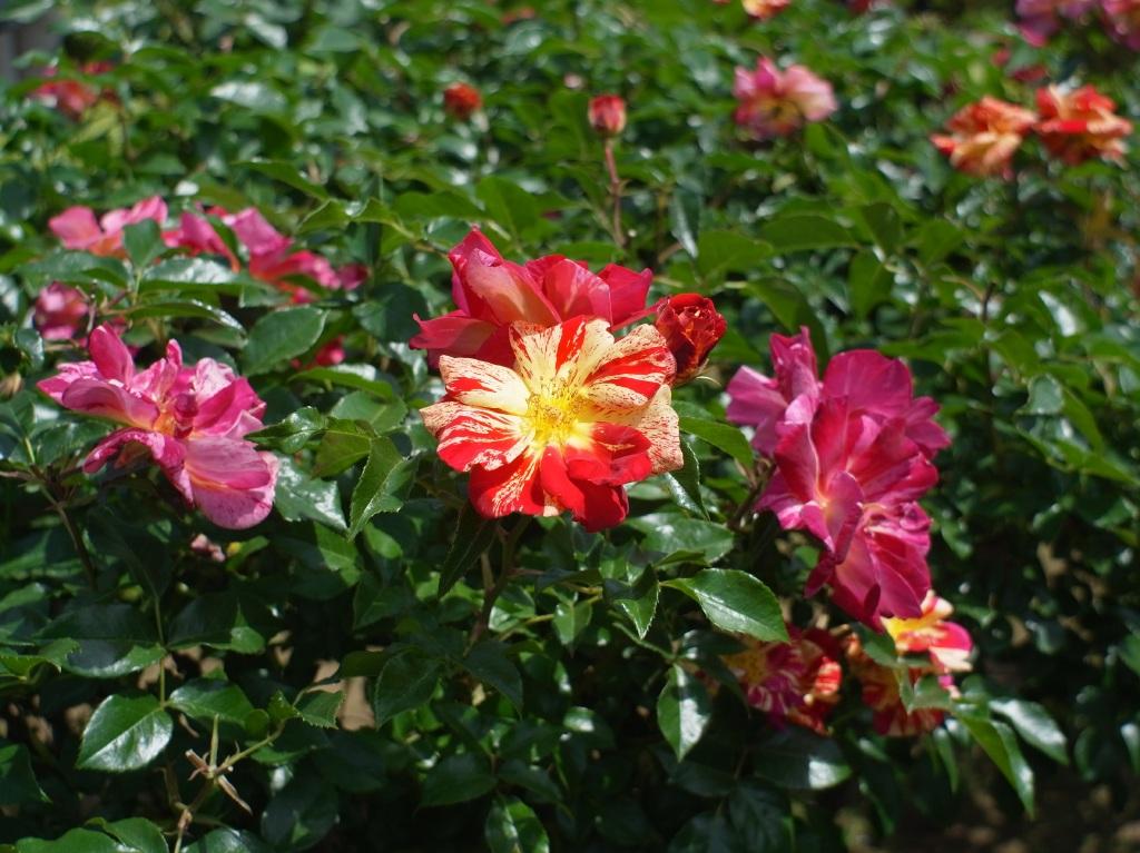 旧古河庭園&バラその2
