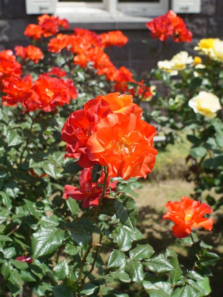 旧古河庭園&バラその3