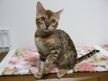 6月生まれ三女_カリン:3ヶ月半齢、体重1.6kg