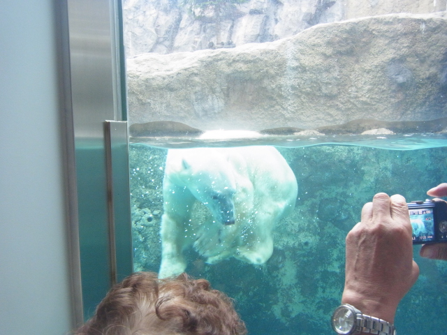 Polor_bear_at_Asahiyama_Zoo