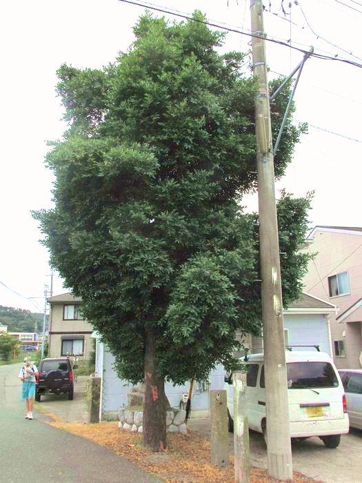 2013 7 13 近所  054 ナギ