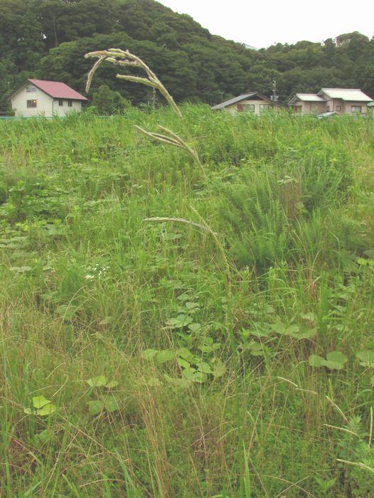 2013 7 6 佐鳴湖 053 タチスズメノヒエ