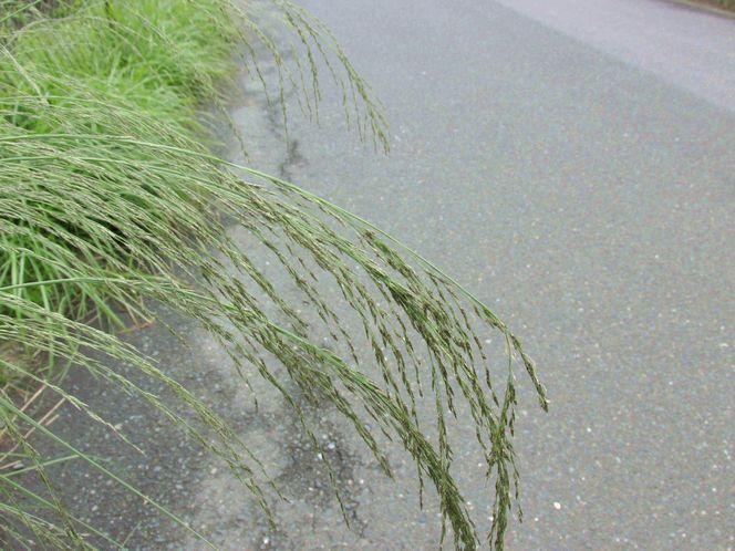 2013 7 3 佐鳴湖 016 シナダレスズメガヤ