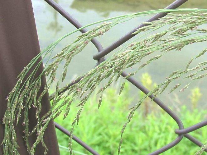 2013 7 3 佐鳴湖 018 シナダレスズメガヤ 800