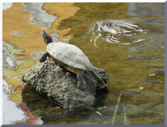 2013 8 6 段子川 佐鳴湖 001 カメとカルガモ 1