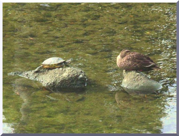 2013 8 6 段子川 佐鳴湖 002 カメとカルガモ 2