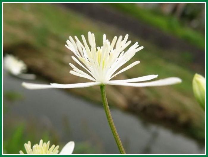 2013 9 10 N 段子川 近所 032 センニンソウ 花弁は平面