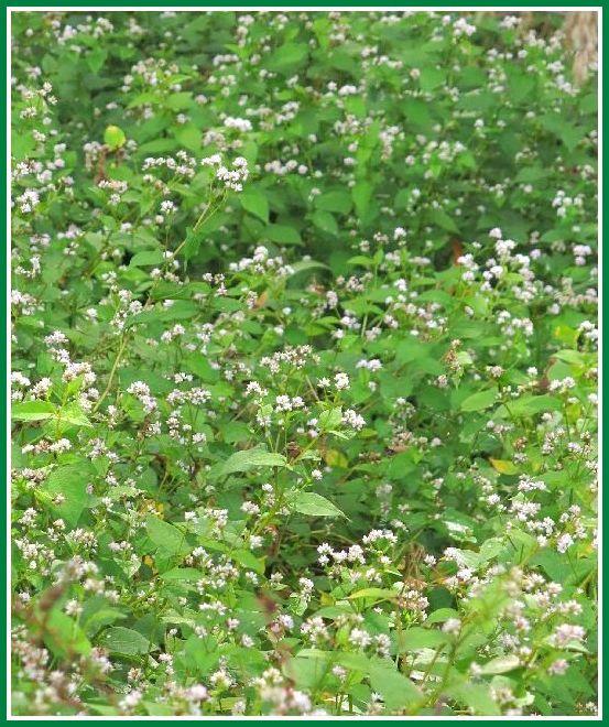 2013 10 8 林縁 038 ミゾソバ 群生 縦 640